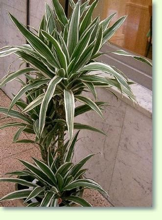 drachenbaum dracaena pflege pflanzenfreunde