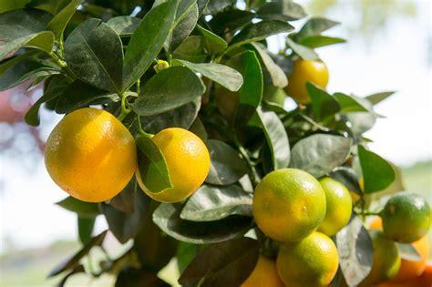 potatura arancio in vaso calamondino o mandarino nano coltivazione esposizione e
