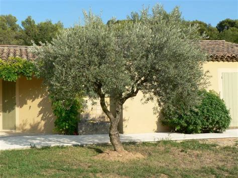 taille des oliviers en pots taille de l olivier en pot 28 images entretenir olivier en pot rempoter taille et arrosage