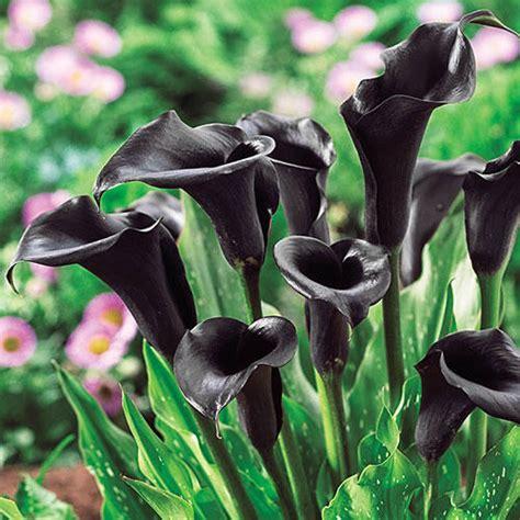 spring sale catalogue odessa calla lily