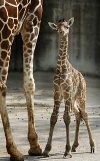 baby giraffe born     months