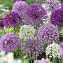 bulbs for naturalizing in the landscape bulbsareeasy