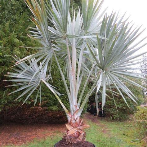 Bismarckia nobilis, palmier bleu de Madagascar | Nobilis ...