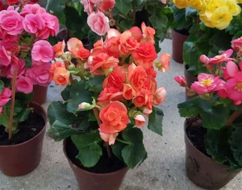 pictures of begonias in pots how to grow begonias plant instructions