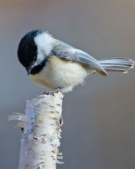 Chickadee On Birch Twig  Papel  Pinterest Gardens