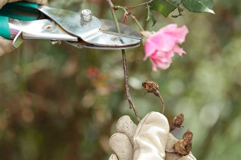 when do you prune roses 3 ways to prune rose bushes wikihow