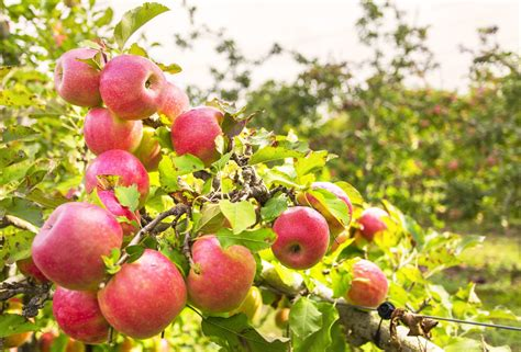 apples zone apple trees tree growing grow garden gardens climate cold gardening tips fruit region gala common