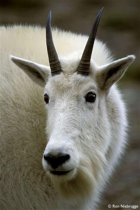 mountain goat glacier national park montana stock