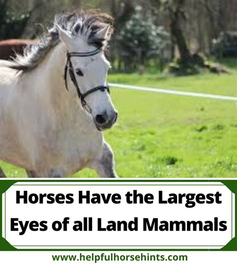 horses mammals largest land helpfulhorsehints eyes eye