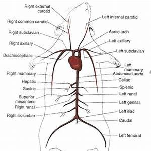 Rat Dissection And Anatomy At Arizona State University