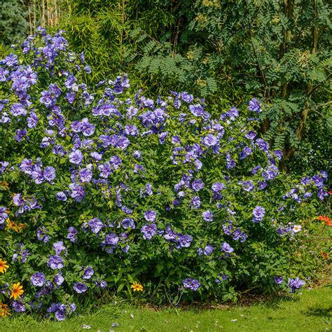 hibiskus hecke schneiden hecke schneiden kosten steuerabz ge bl hen auch im garten