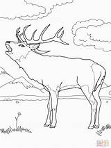 Deer Coloring Pages Printable Mule Buck European Supercoloring Western Colouring Drawing Adult Print Wood Arrows Fighting Library Popular Christmas Burning sketch template
