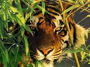 HD Animals: wild tiger wallpaper