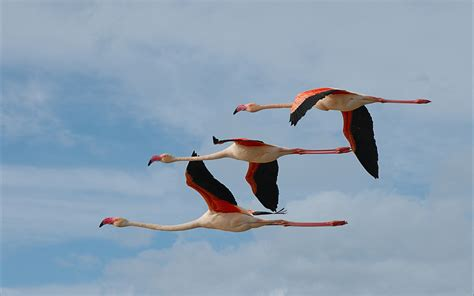 flying flamingos hd wallpaper background image