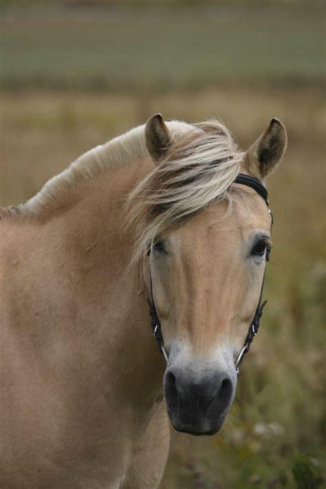 horse breeds too deal irish true norwegian fjord cob