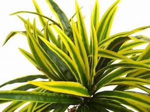 1 For Artificial Dracaena Plants