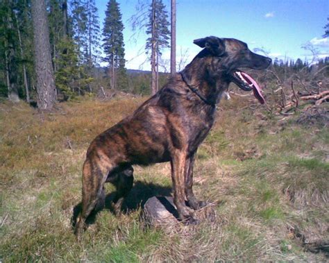 Filedutch Shepherd  Ee  Short Ee    Ee  Hair Ee   Jpg Wikimedia Commons