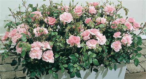 piante da giardino sempre verdi piante da balcone consigli sulle guide da seguire
