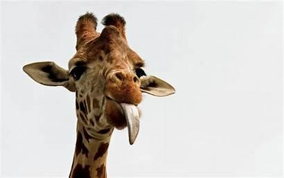 Giraffe Funny Wallpapers 1920 1200 Wallpaperplay Adorable