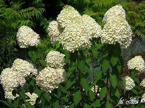 Hydrangea Paniculata Schneiden : rispenhortensie sorten pflanzen schneiden ~ Lizthompson.info Haus und Dekorationen