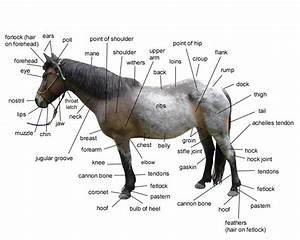 Diagram Of Horse Body Parts