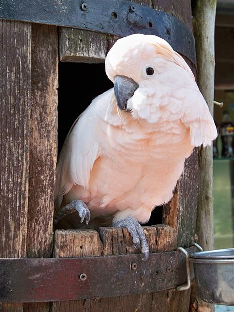 photo salmon crested cockatoo  image