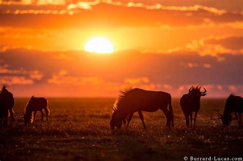 wildebeest burrard lucas photography