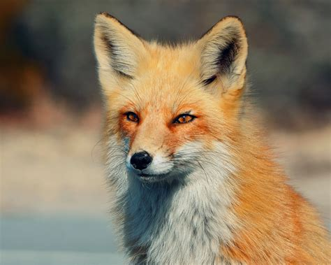 Fox Animal Wallpaper - fox hd wallpaper and background image 2048x1638