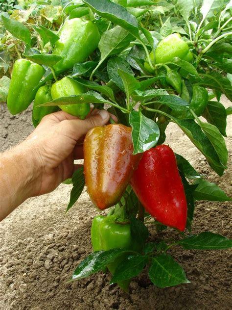 Garten Pflanzen Viel Sonne by Paprika Verlangt Viel Sonne Und W 228 Rme Gardening