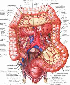 Small intestine large intestine mesenteric artery anatomy ...