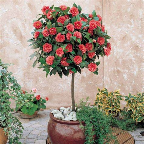 caring for camellias in pots camellia plant camellia standard shrubs gardening gardens trees and shrubs