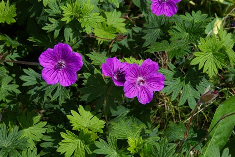 Can You Graft A Geranium?  Naked Science Forum