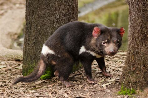 It is a widely known fact that tasmanian devils are the only animals on earth that were created by satan (not counting politicians). Sydney's Corner: The Tasmanian Devil
