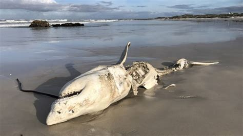 Boat Show 2017 South Africa by Shock As Eviscerated Great White Shark Washes Up With