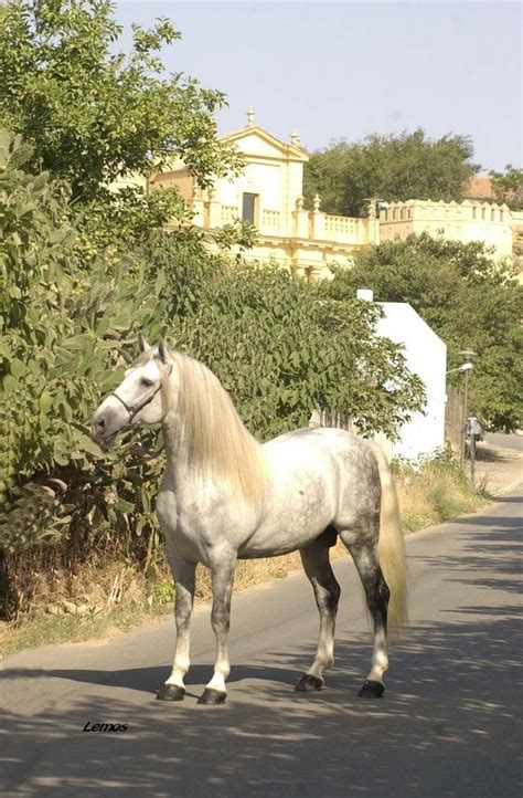 horse andalusian semental algaida yeguada breeds spain