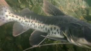 My curious leopard catfish - YouTube
