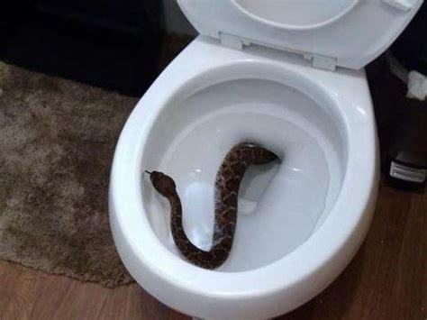 rattlesnake   toilet leads    snakes