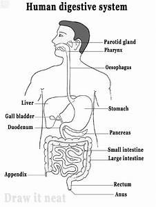Draw It Neat   How To Draw Human Digestive System