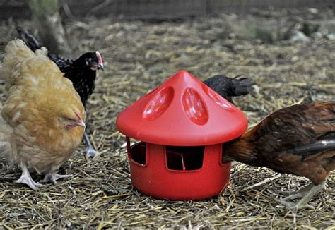 grit station feeder feeders drinkers  chickens