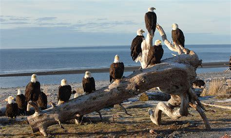 eagles bald alaska eagle homer demographics american dawson woodrow congregation foundation