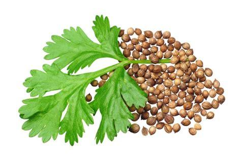 coriander health benefits  nutritional information