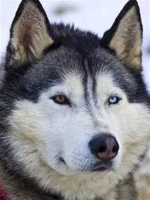 Siberian Husky Blue Eyes and Brown