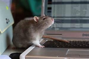 CAPTAIN RATZ MISCHIEF - Rat Breeder, Mouse Breeder - Gold ...