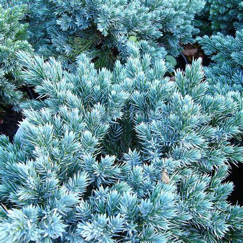 Juniperus Squamata  'blue Star' (juniper) Information