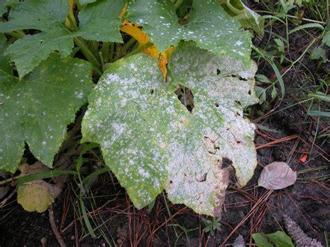 powdery mildew google images