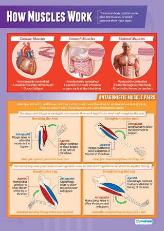 muscles science educational school posters