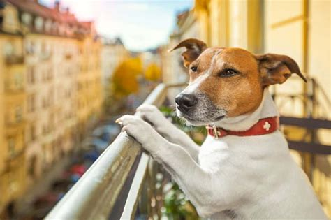 jackrussellde jack russell terrier und parson russell