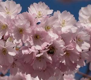 Rosa Blüten Baum : biene im rosa bl ten baum foto bild pflanzen pilze flechten b ume blatt bl te bilder ~ Yasmunasinghe.com Haus und Dekorationen
