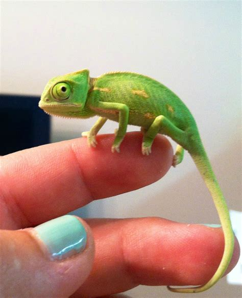 chameleon pet sorry reddit i m allergic to cats so here s our new chameleon instead chameleons baby