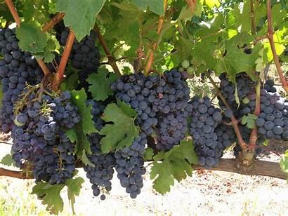 South Africa Harvest Grape Bottle Eat Often